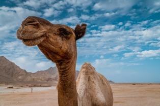 camel-4306242_1280